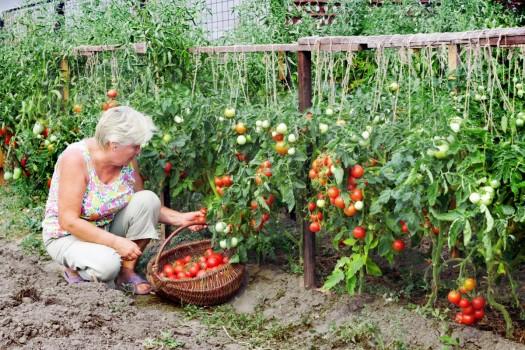 Урожай на даче 10