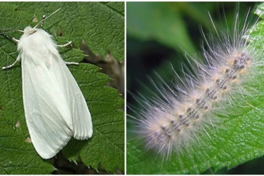 Американская белая бабочка 5