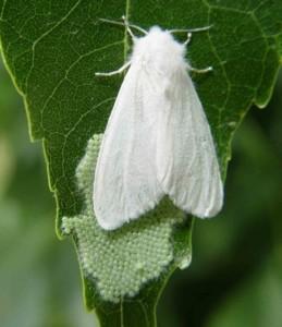 Американская белая бабочка 2