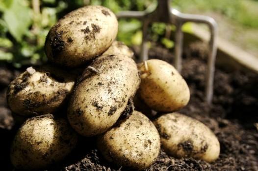 Картофель на даче